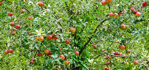Apple Tree Centralia