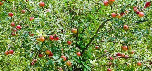 Apple Tree Centralia