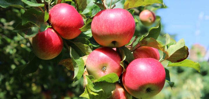 Apples on The Tree Centralia